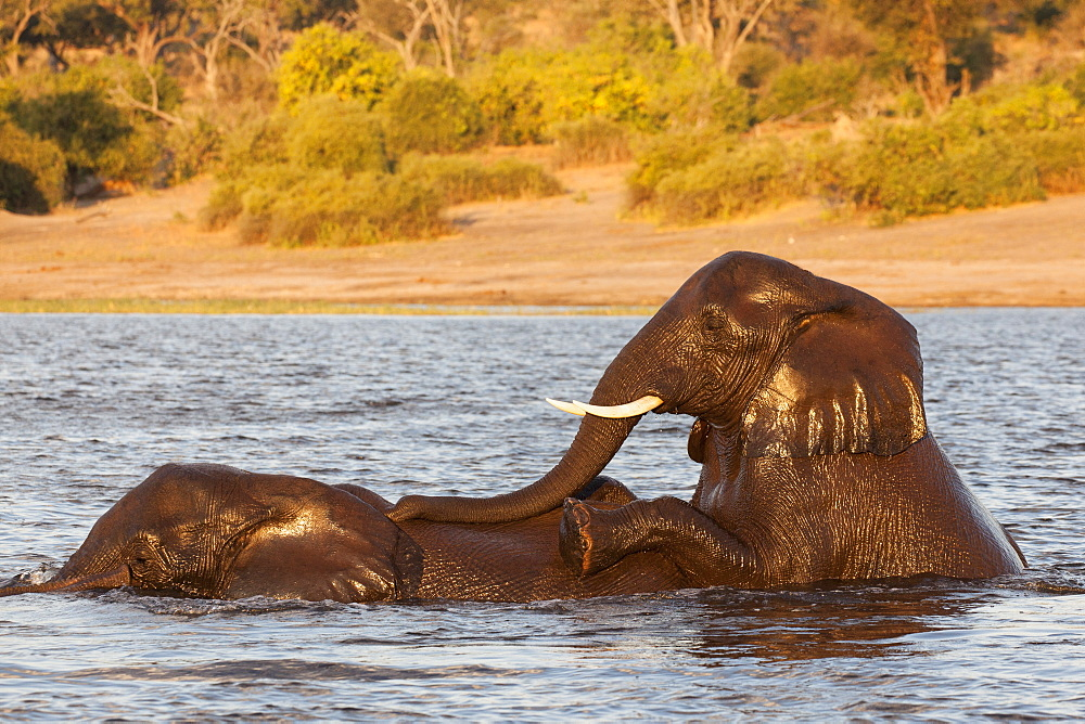 African elephant (Loxodonta africana) playing in river, Chobe River, Botswana, Africa - 743-1474
