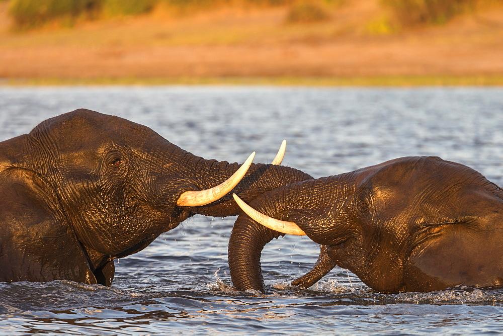African elephant (Loxodonta africana) playfighting, Chobe River, Botswana, Africa - 743-1483