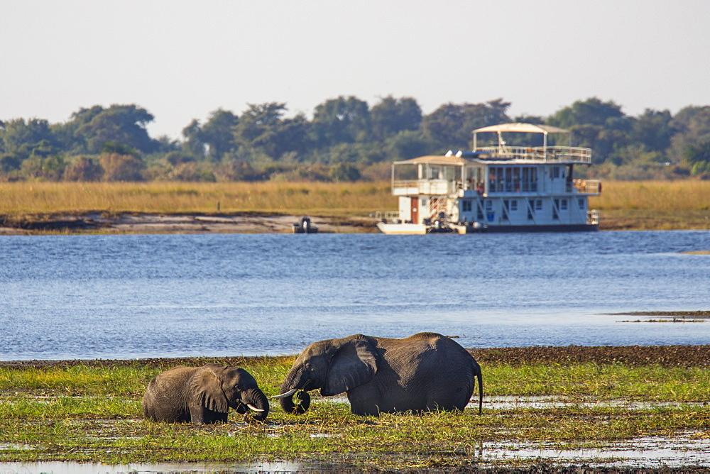 African elephants (Loxodonta africana) grazing, Chobe River, Botswana, Africa
