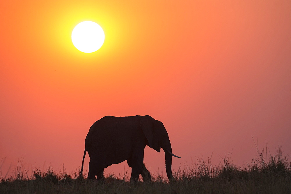 African elephant (Loxodonta africana) at sunset, Botswana, Africa