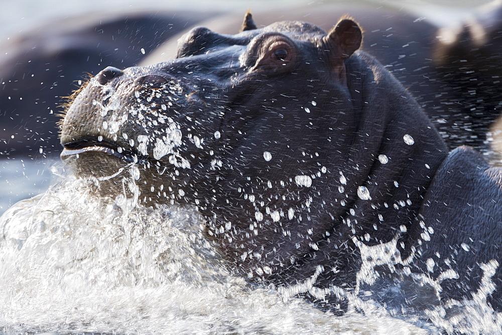 Hippopotamus (Hippopotamus amphibius) splashing, Chobe River, Botswana, Africa