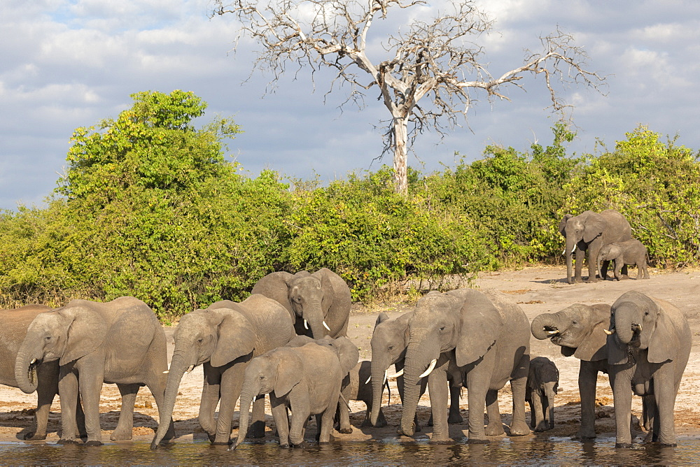 African elephants (Loxodonta africana) drinking at river, Chobe River, Botswana, Africa - 743-1493