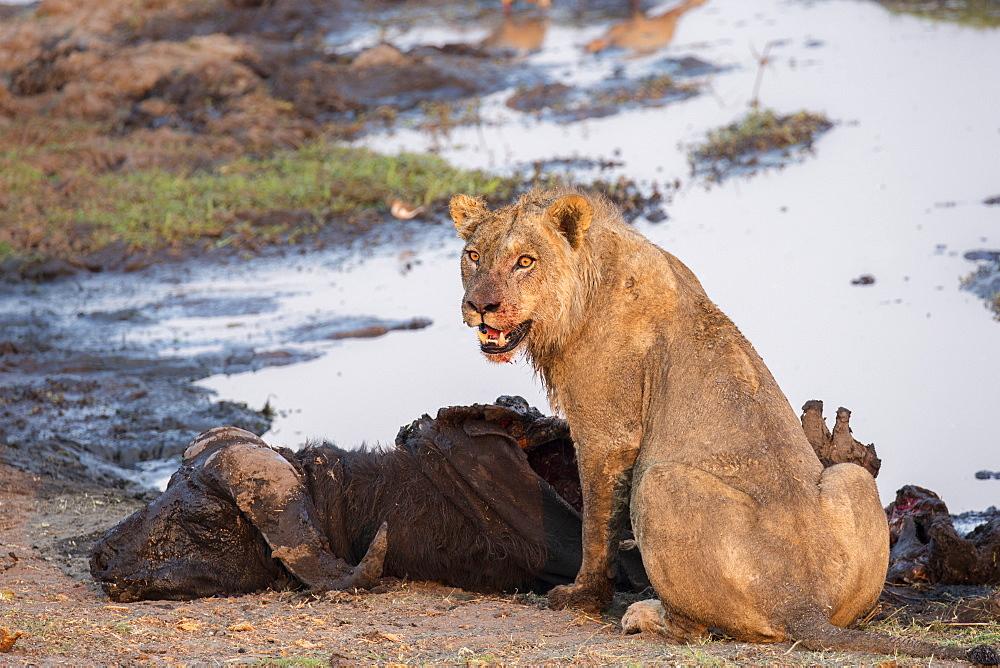 Young male lion (Panthera leo) on buffalo kill, Chobe National Park, Botswana, Africa