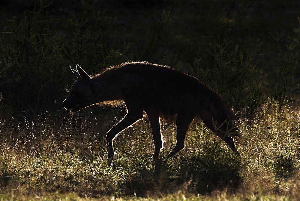 Brown hyaena (Hyaena brunnea), Kgalagadi Transfrontier Park, Northern Cape, South Africa, Africa - 743-1518