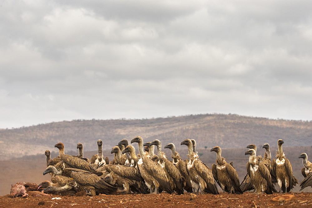 Whitebacked vultures (Gyps africanus) feeding, Zimanga private game reserve, KwaZulu-Natal, South Africa, September 2016