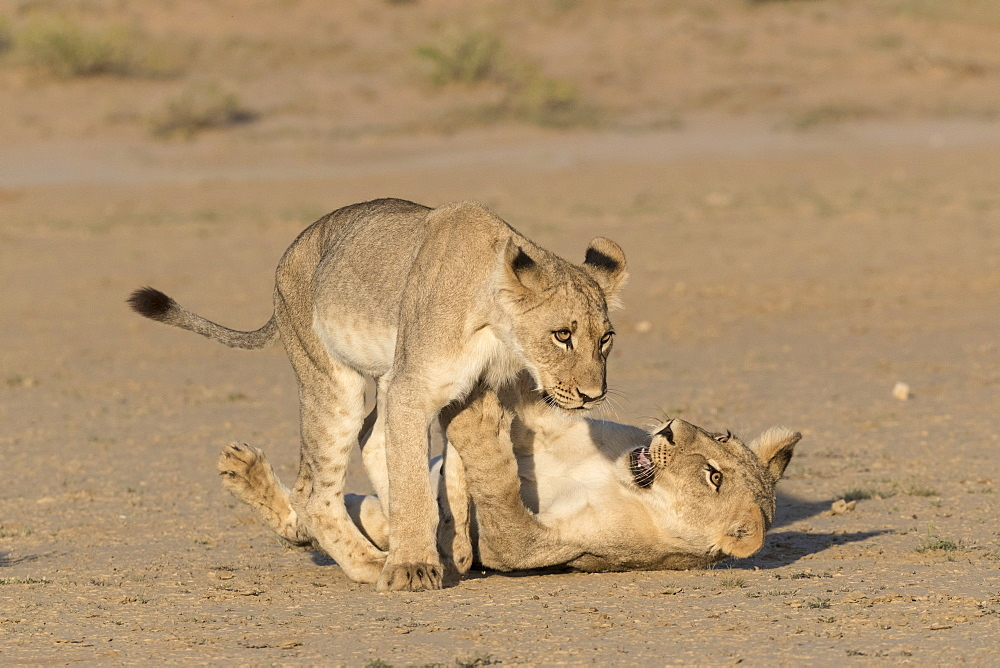 Young lions (Panthera leo) playing, Kgalagadi transfrontier park, Northern Cape, South Africa, February 2017