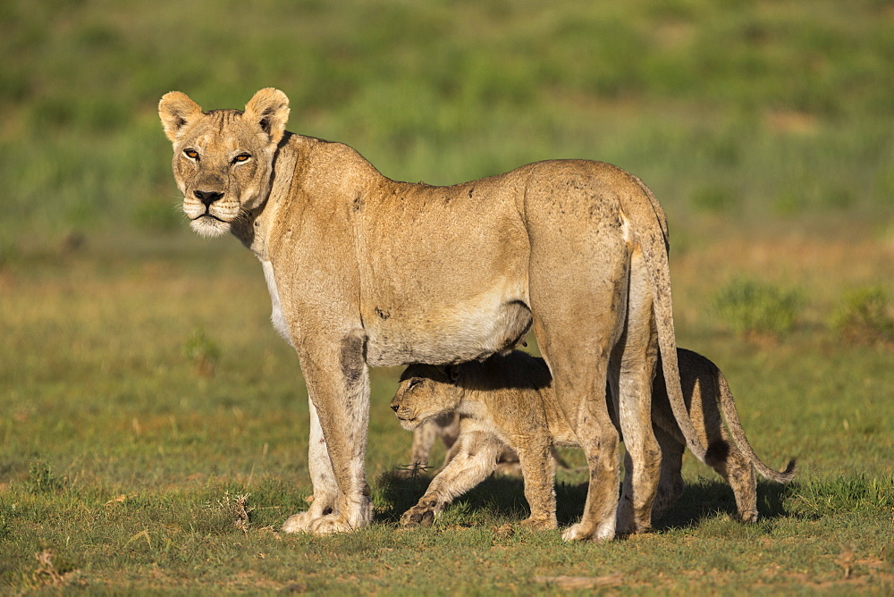 Lioness (Panthera leo) with cub, Kgalagadi Transfrontier Park, Northern Cape, South Africa, Africa - 743-1542