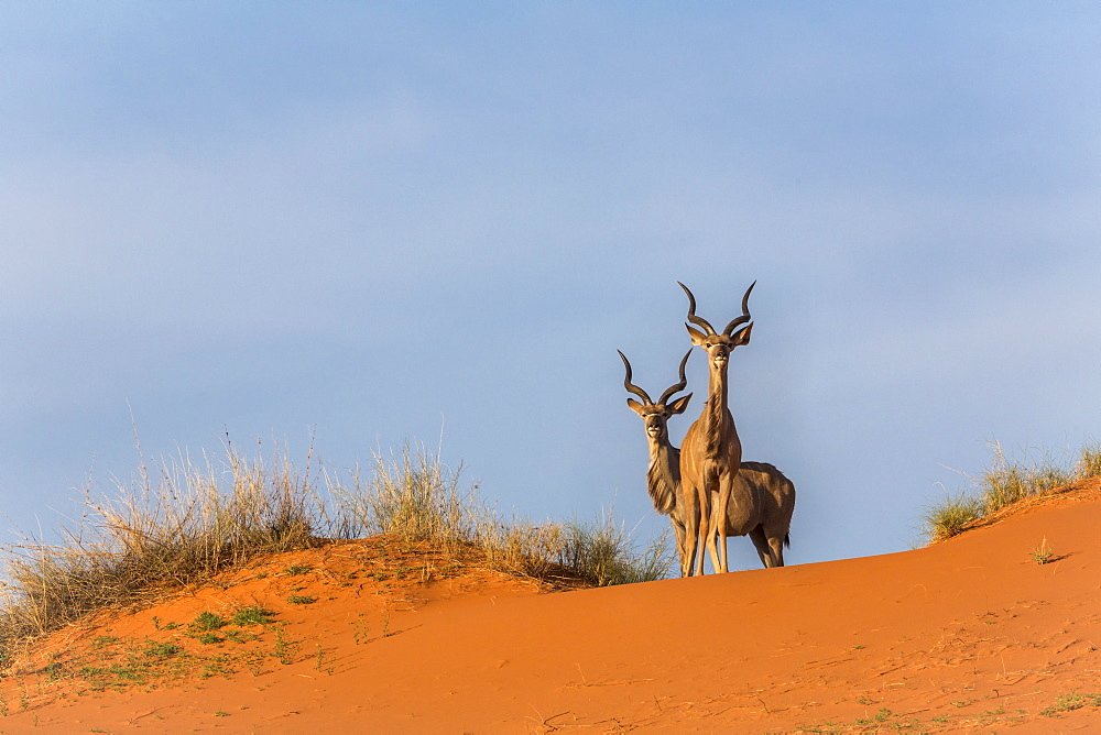 Greater kudu (Tragelaphus strepsiceros) on dunes, Kgalagadi Transfrontier Park, Northern Cape, South Africa, January 2017