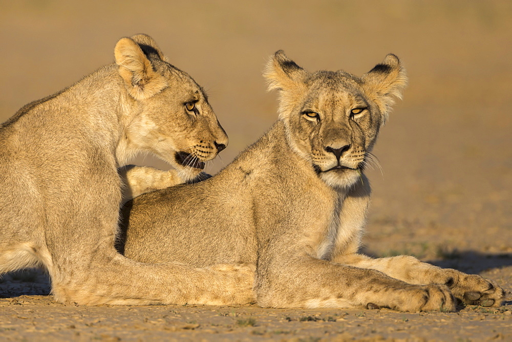Young lions (Panthera leo), Kgalagadi transfrontier park, Northern Cape, South Africa, February 2017