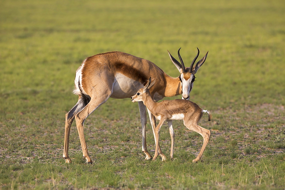 Springbok (Antidorcas marsupialis) with newborn calf suckling, Kgalagadi Transfrontier Park, Northern Cape, South Africa, Africa - 743-1554