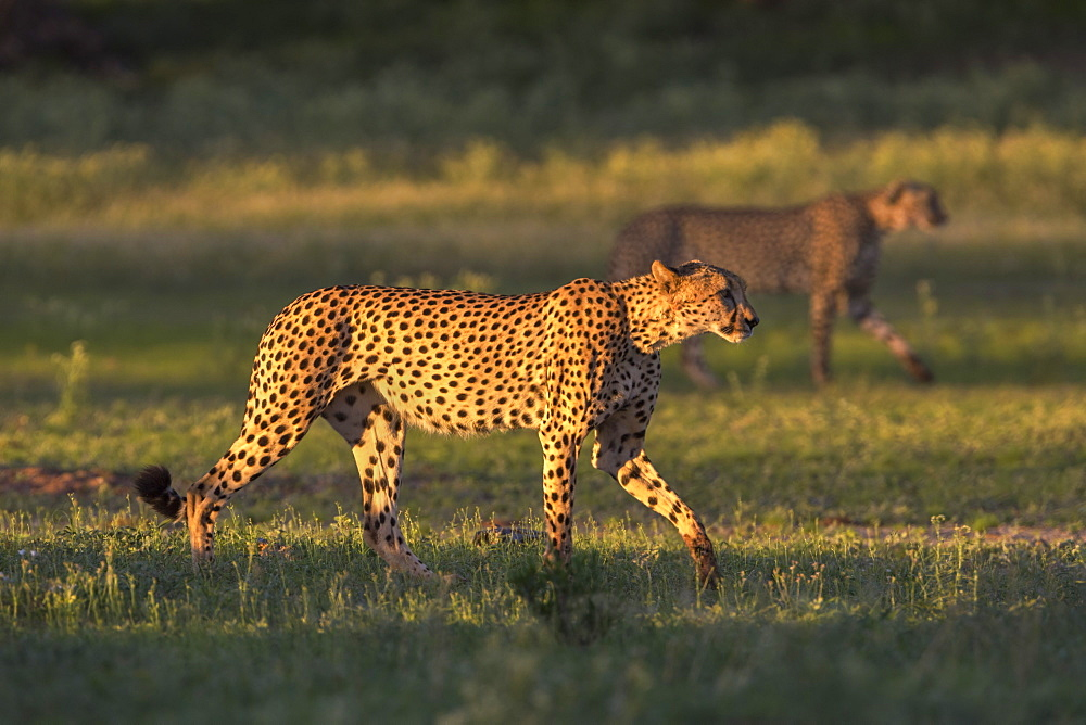 Cheetah (Acinonyx jubatus), Kgalagadi transfrontier park, Northern Cape, South Africa, January 2017