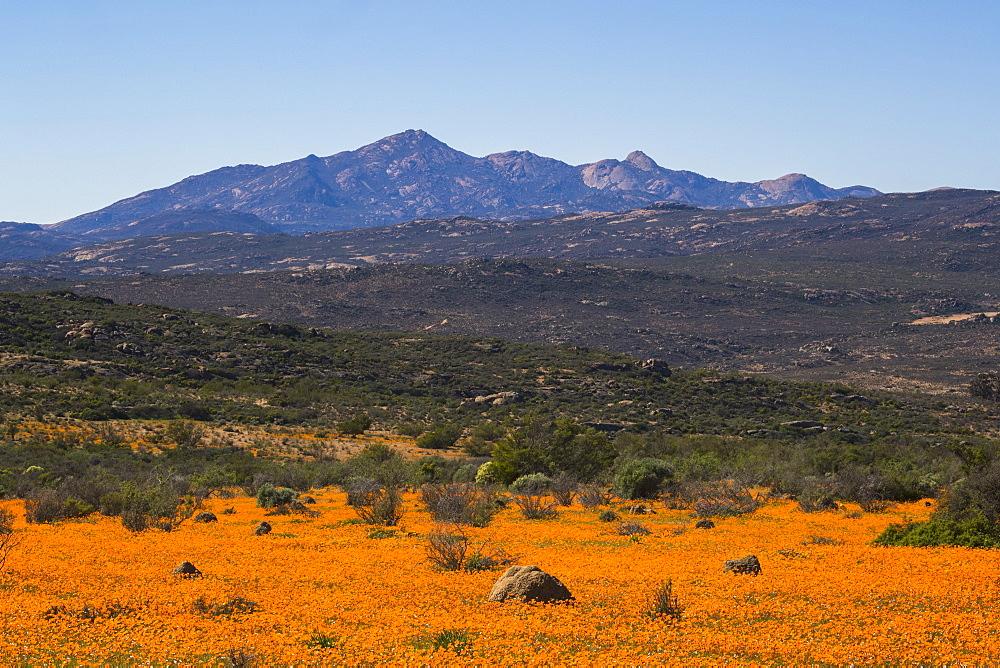 Carpet of orange glossy-eyed parachute-daisies (Ursinia cakilefolia), Skilpad, Namaqua national park, South Africa