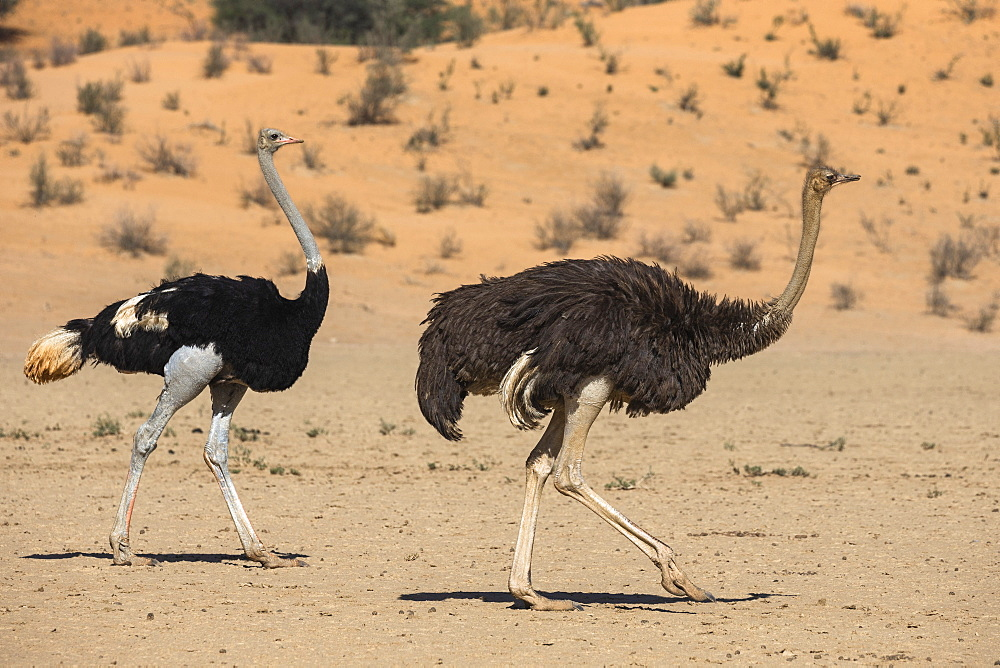 Ostrich (Struthio camelus) male (left) and female, Kgalagadi transfrontier park, South Africa, February 2020
