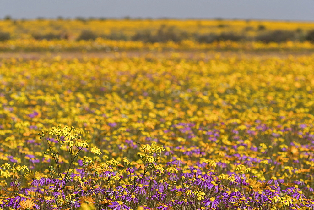 Namaqualand spring flowers, Matjiesfontein farm, Nieuwoudtville, Namaqualand, South Africa, August 2019