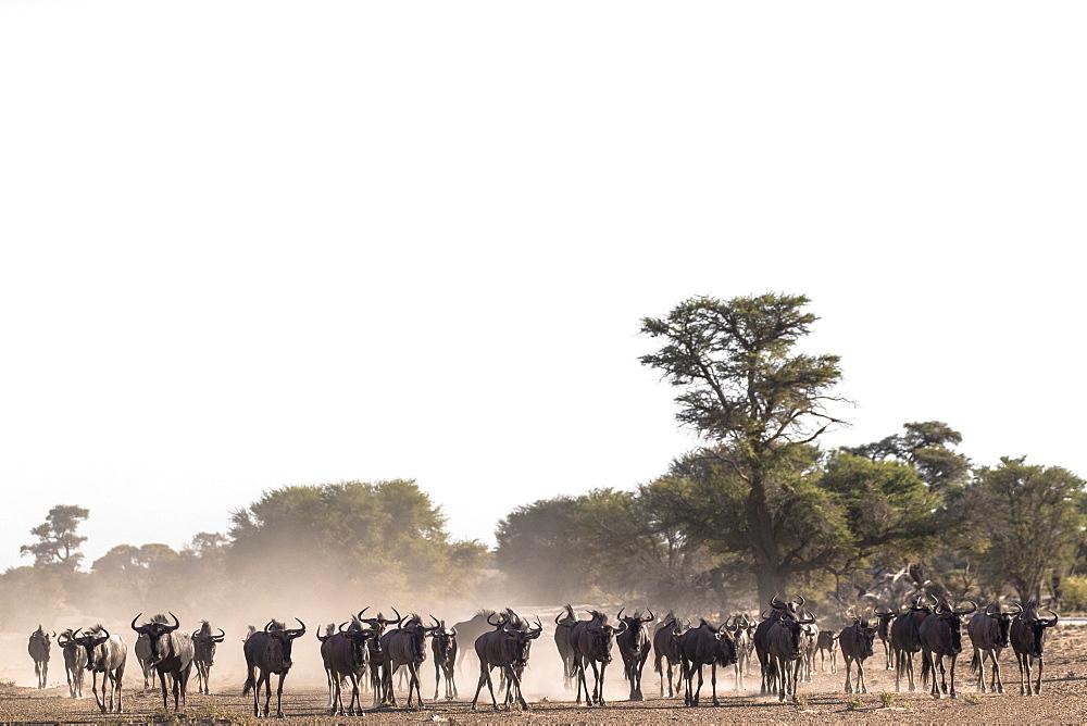 Wildebeest (Connochaetes taurinus) herd, Kgalagadi Transfrontier Park, South Africa, Africa