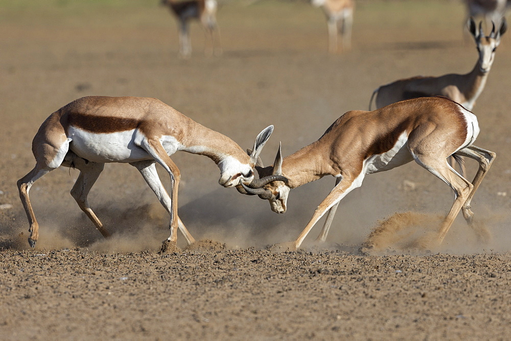 Springbok (Antidorcas marsupialis) fighting, Kgalagadi Transfrontier Park, South Africa, January 2020