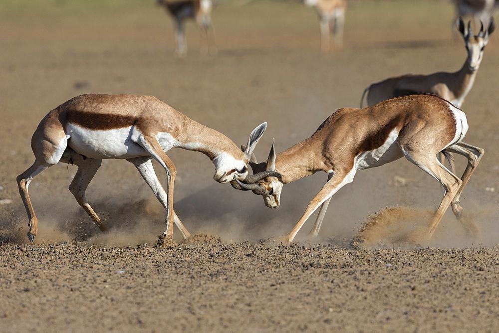 Springbok (Antidorcas marsupialis) fighting, Kgalagadi Transfrontier Park, South Africa, Africa