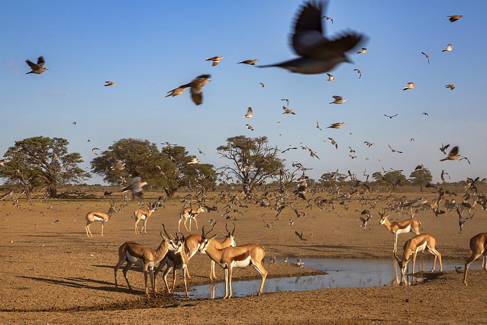 Springbok (Antidorcas marsupialis) herd at water, Kgalagadi Transfrontier Park, South Africa, Africa