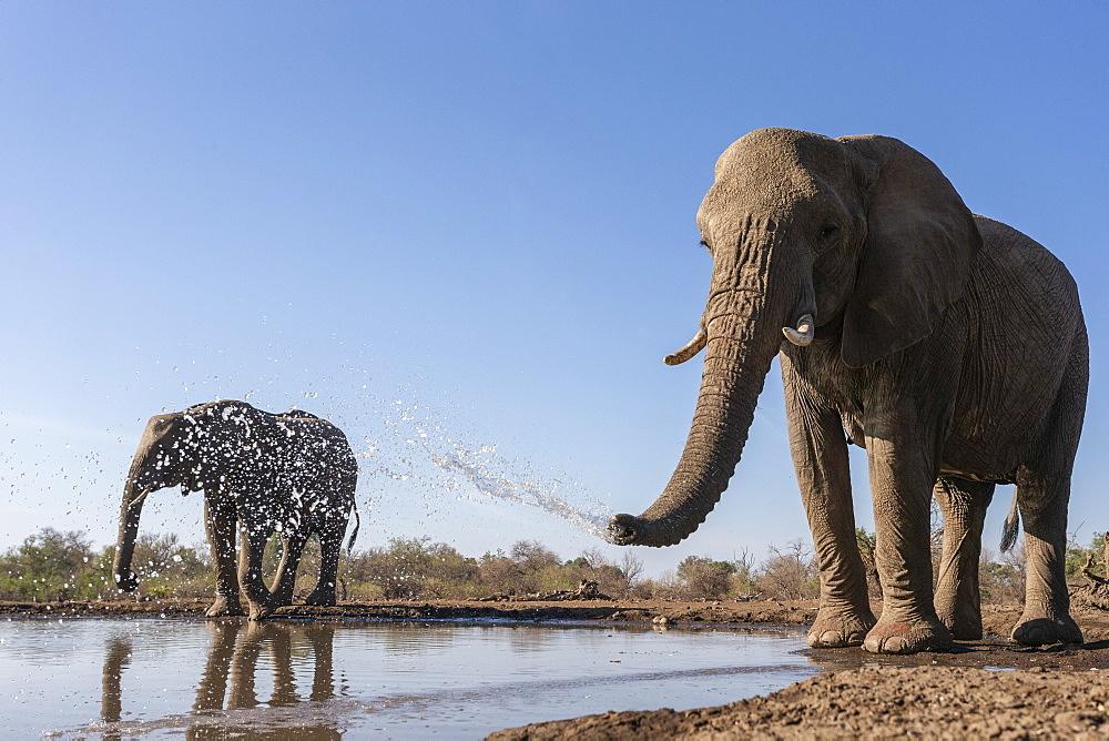 Elephants (Loxodonta africana) at water, Mashatu game reserve, Botswana, November 2019
