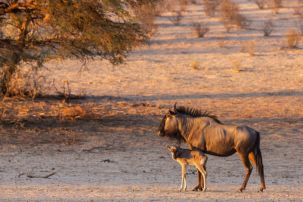 Wildebeest (Connochaetes taurinus) with calf, Kgalagadi transfrontier park, South Africa, January 2020