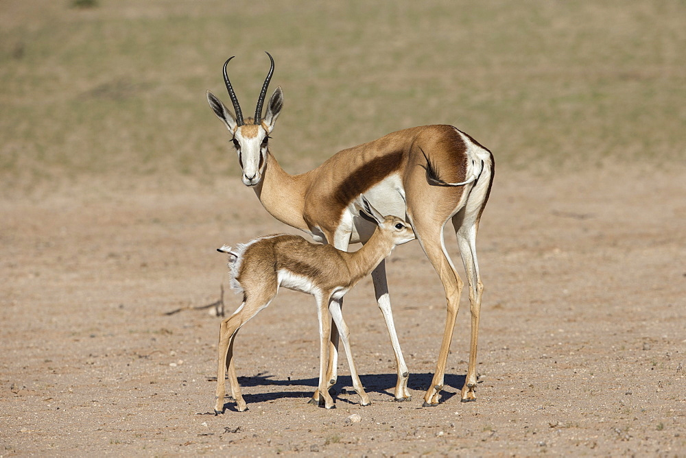 Springbok (Antidorcas marsupialis) and new-born calf suckling, Kgalagadi Transfrontier Park, South Africa, January 2020