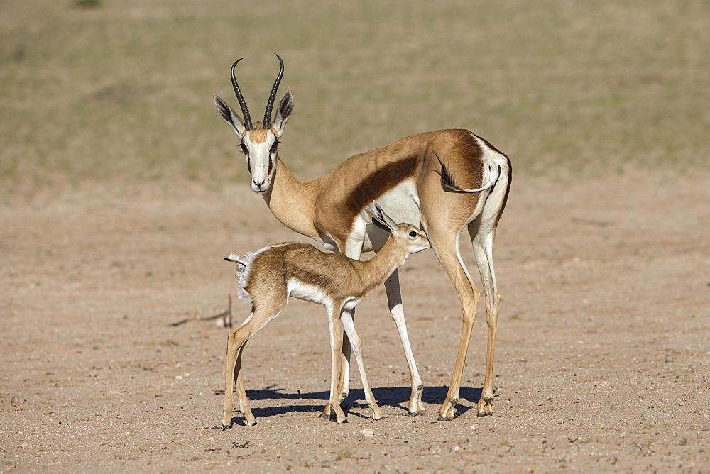 Springbok (Antidorcas marsupialis) and new-born calf suckling, Kgalagadi Transfrontier Park, South Africa, Africa