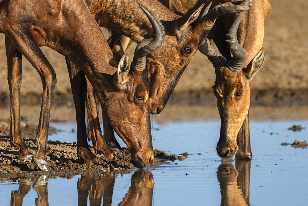 Red hartebeest (Alcelaphus buselaphus caama), Kgalagadi Transfrontier Park, South Africa, Africa - 743-1948
