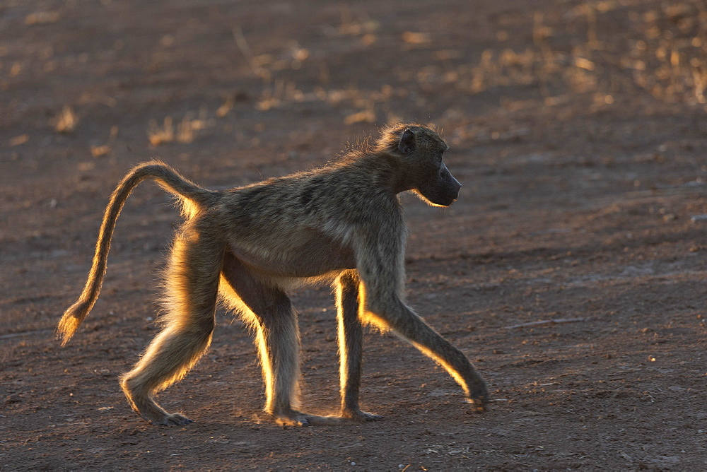 Chacma baboon (Papio ursinus), Mashatu game reserve, Botswana, December 2019