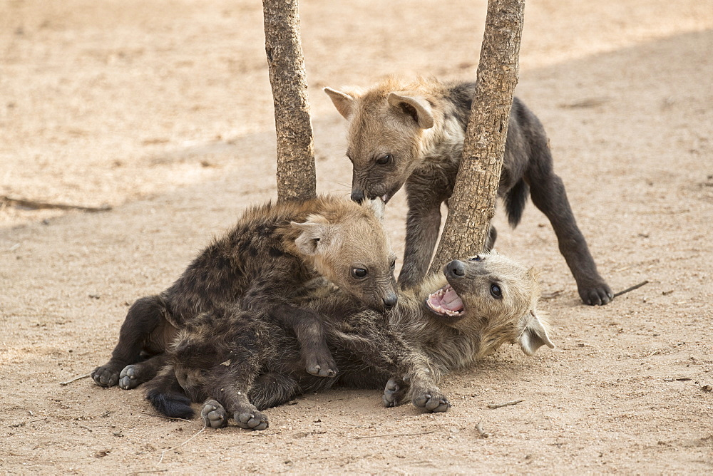 Spotted hyena (Crocuta crocuta) cubs, Elephant Plains, Sabi Sand, South Africa, Africa