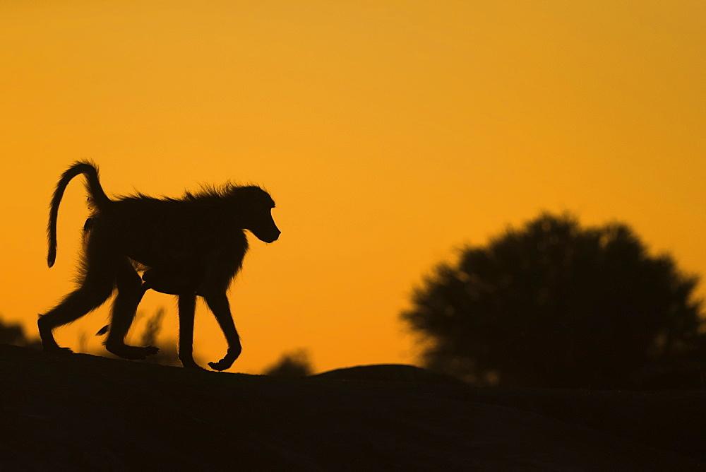 Chacma baboon (Papio ursinus) carrying infant, Mashatu Game Reserve, Botswana, Africa