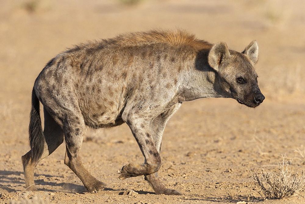 Spotted hyena (Crocuta crocuta), Kgalagadi transfrontier park, South Africa, February 2020