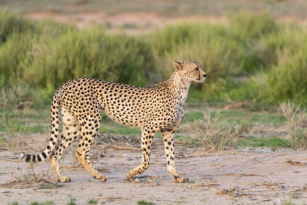 Cheetah (Acinonyx jubatus), Kgalagadi transfrontier park, South Africa, February 2020