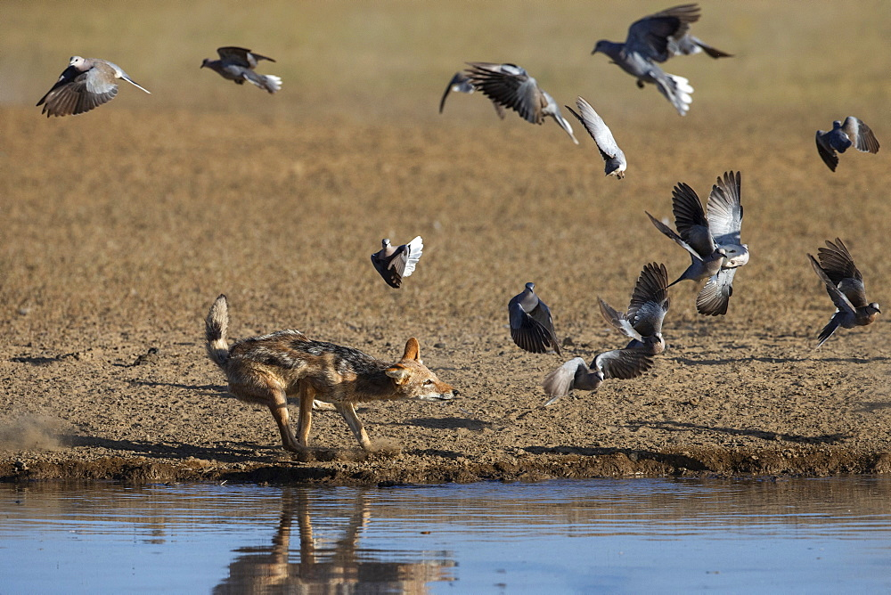 Blackbacked jackal (Canis mesomelas) chasing Cape turtle doves (Streptopilia capicola), Kgalagadi Transfrontier Park, South Africa, Africa