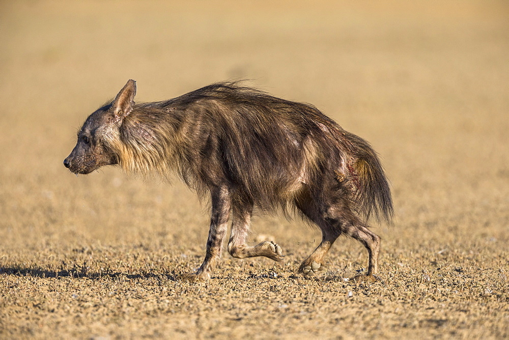 Brown hyena (Hyaena brunnea), Kgalagadi Transfrontier Park, South Africa, Africa - 743-1965