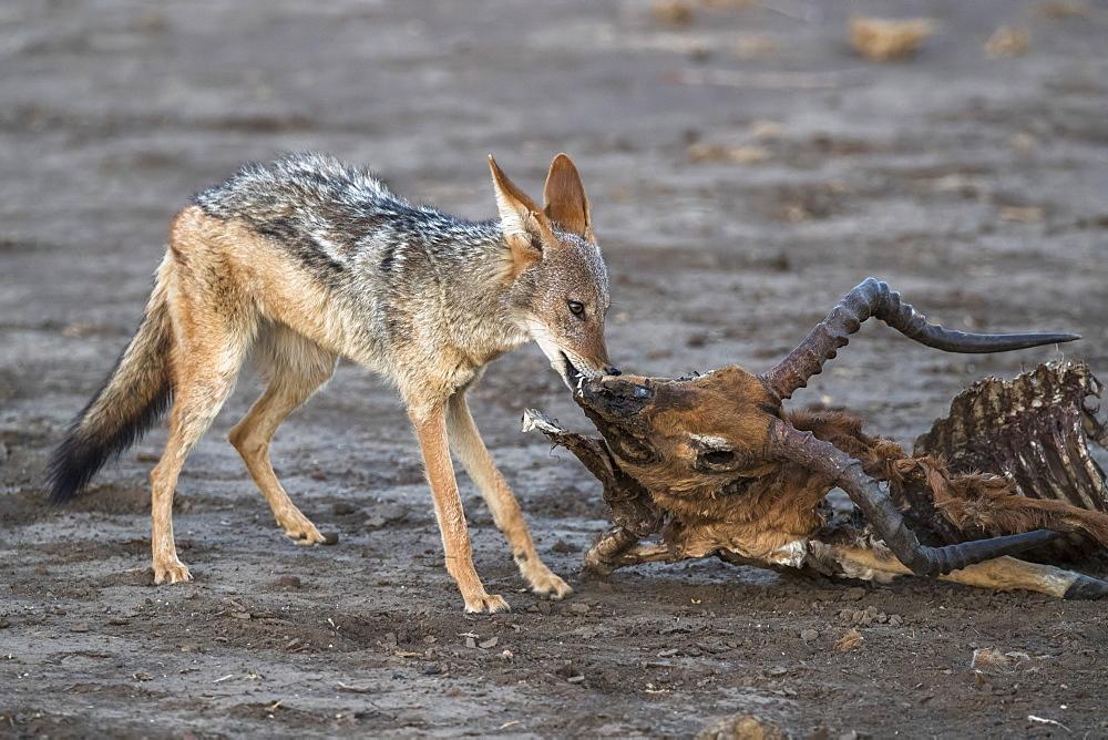 Blackbacked jackal (Canis mesomelas) scavenging from dead impala carcass, Mashatu game reserve, Botswana, November 2019