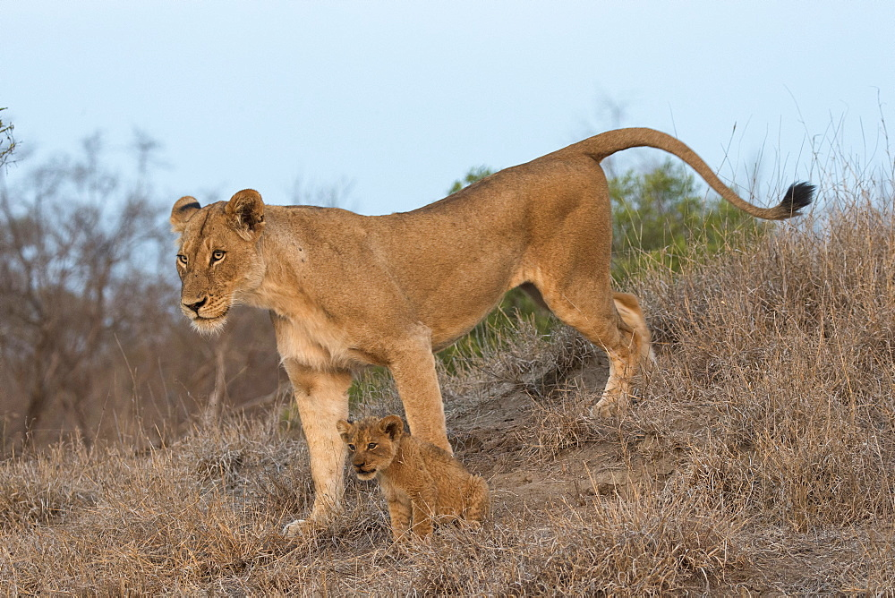 Lioness (Panthera leo) with cub, Elephant Plains, Sabi Sand Game Reserve, South Africa, Africa