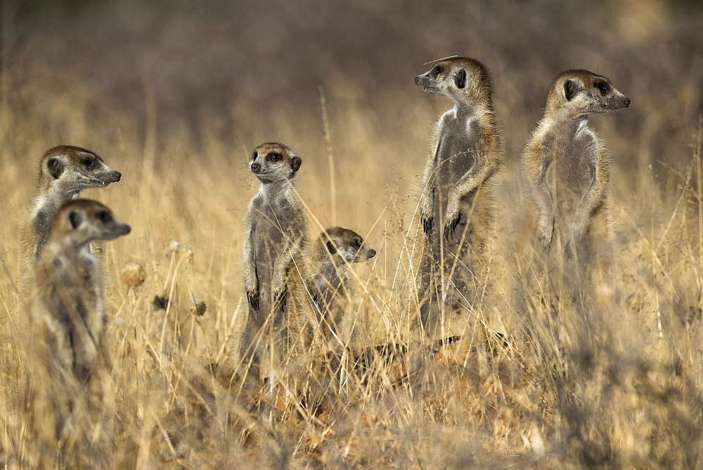 Meerkats (Suricata suricatta), Kgalagadi Transfrontier Park, Northern Cape, South Africa, January 2019