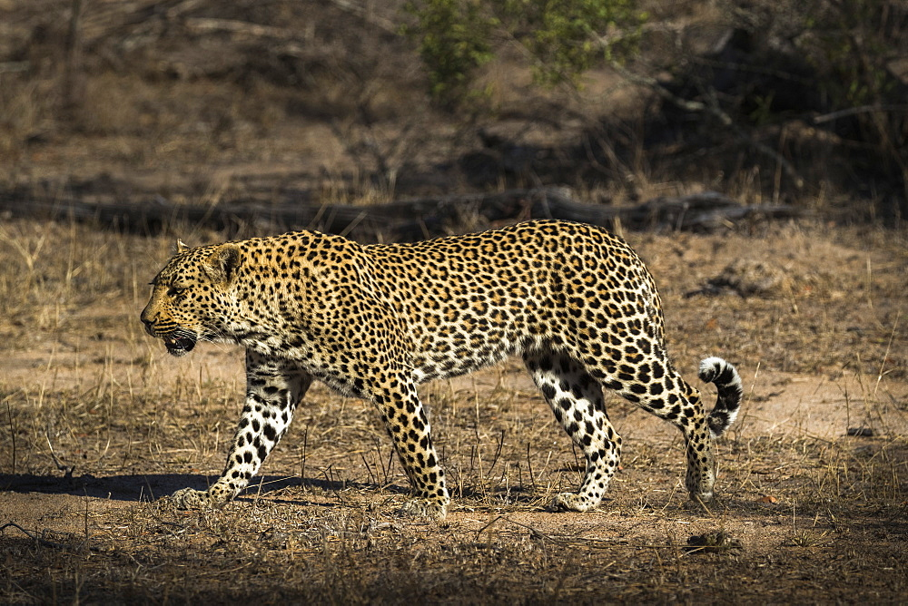 Leopard (Panthera pardus), Elephant Plains, Sabi Sand Game Reserve, South Africa, Africa
