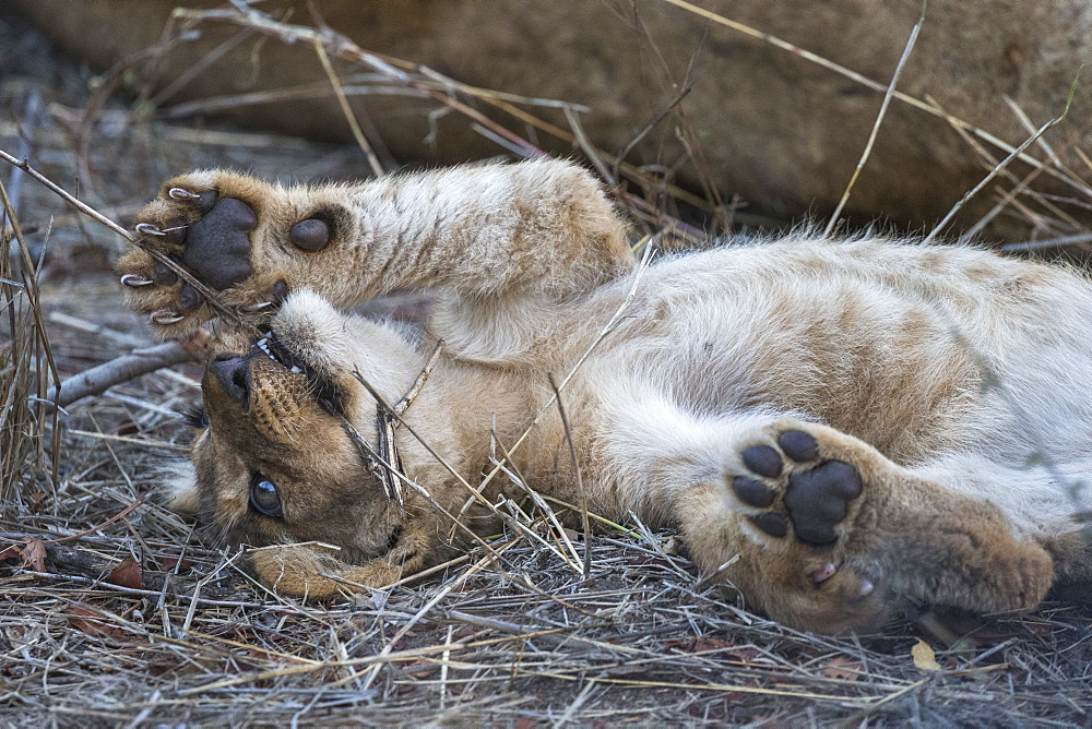 Lion (Panthera leo) cub resting, Elephant Plains, Sabi Sand Game Reserve, South Africa, Africa