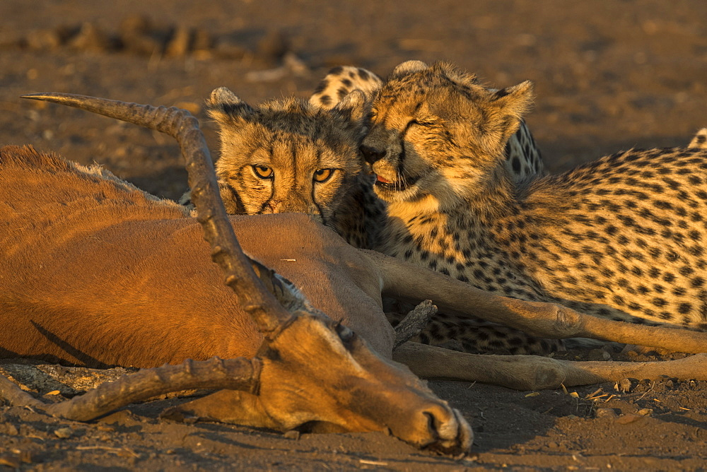Cheetahs (Acinonyx jubatus) with impala kill, Northern Tuli Game Reserve, Botswana, Africa
