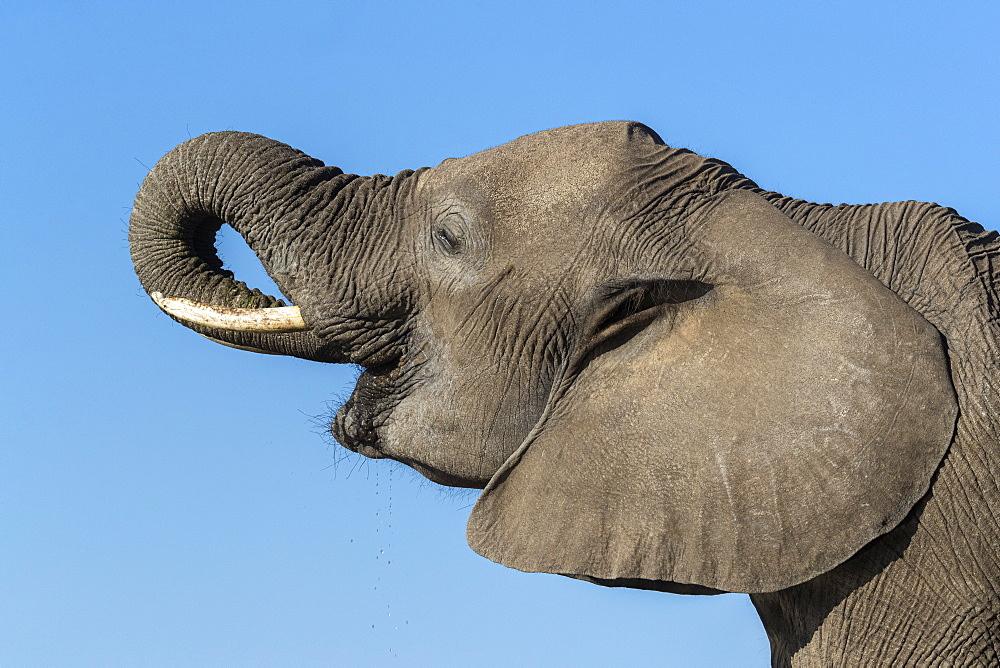 Elephant (Loxodonta africana) drinking, Mashatu game reserve, Botswana, November 2019
