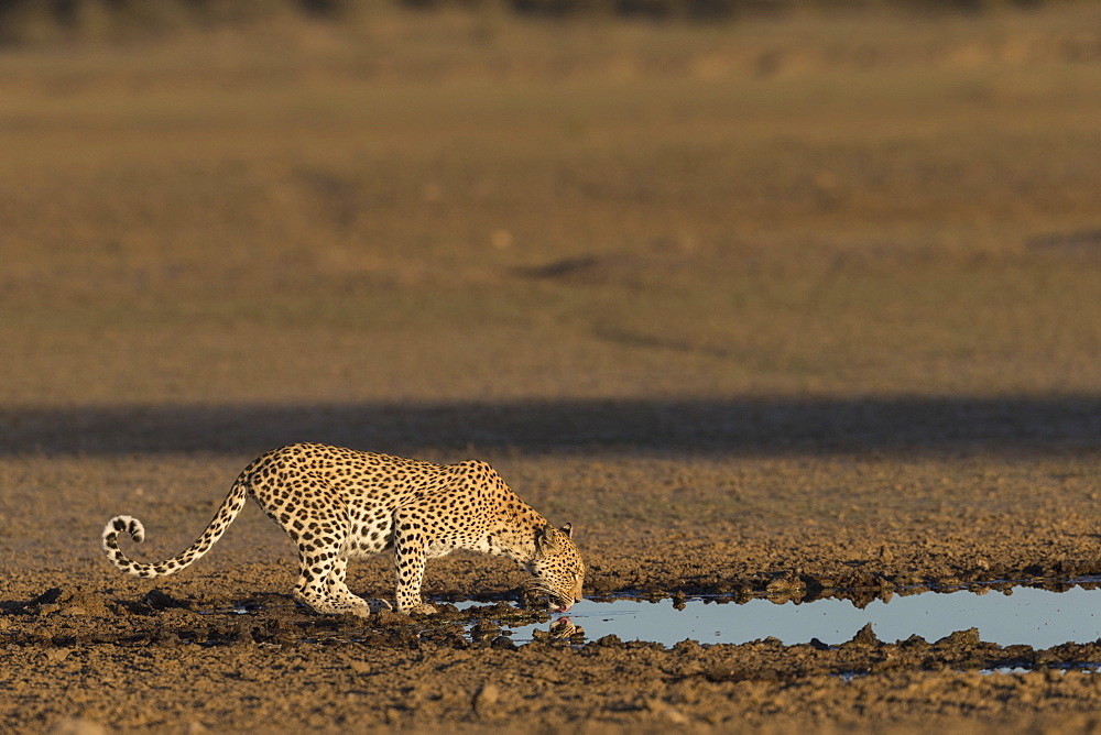 Leopard (Panthera pardus) female drinking, Kgalagadi Transfrontier Park, South Africa, Africa