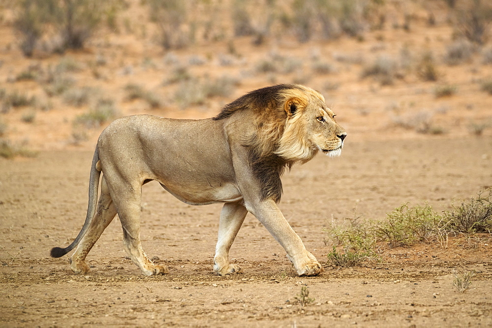 Lion (Panthera leo) on the move, Kgalagadi transfrontier park, South Africa, January 2020