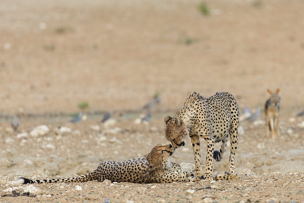 Cheetah (Acinonyx jubatus) brothers, Kgalagadi transfrontier park, South Africa, February 2020