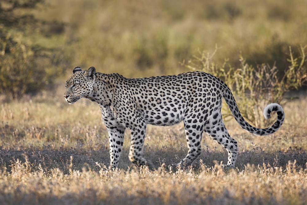 Leopard (Panthera pardus) female, Kgalagadi transfrontier park, South Africa, January 2020