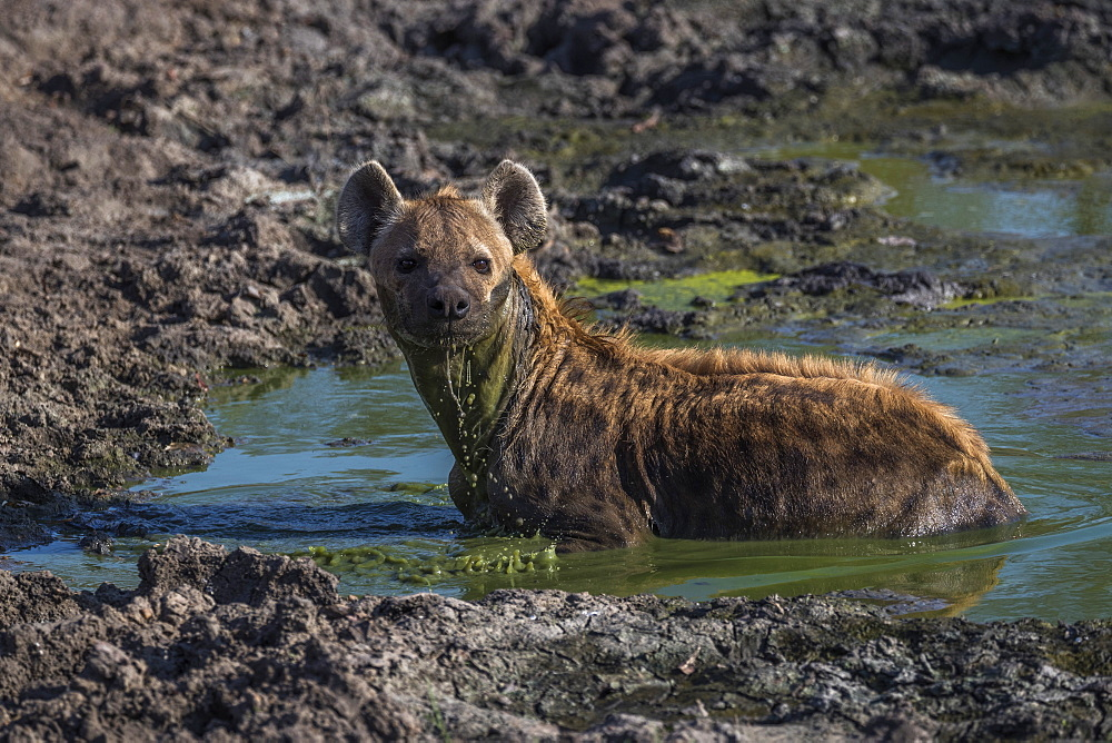 Spotted hyena (Crocuta crocuta) cooling off, Elephant Plains, Sabi Sand, South Africa, Africa