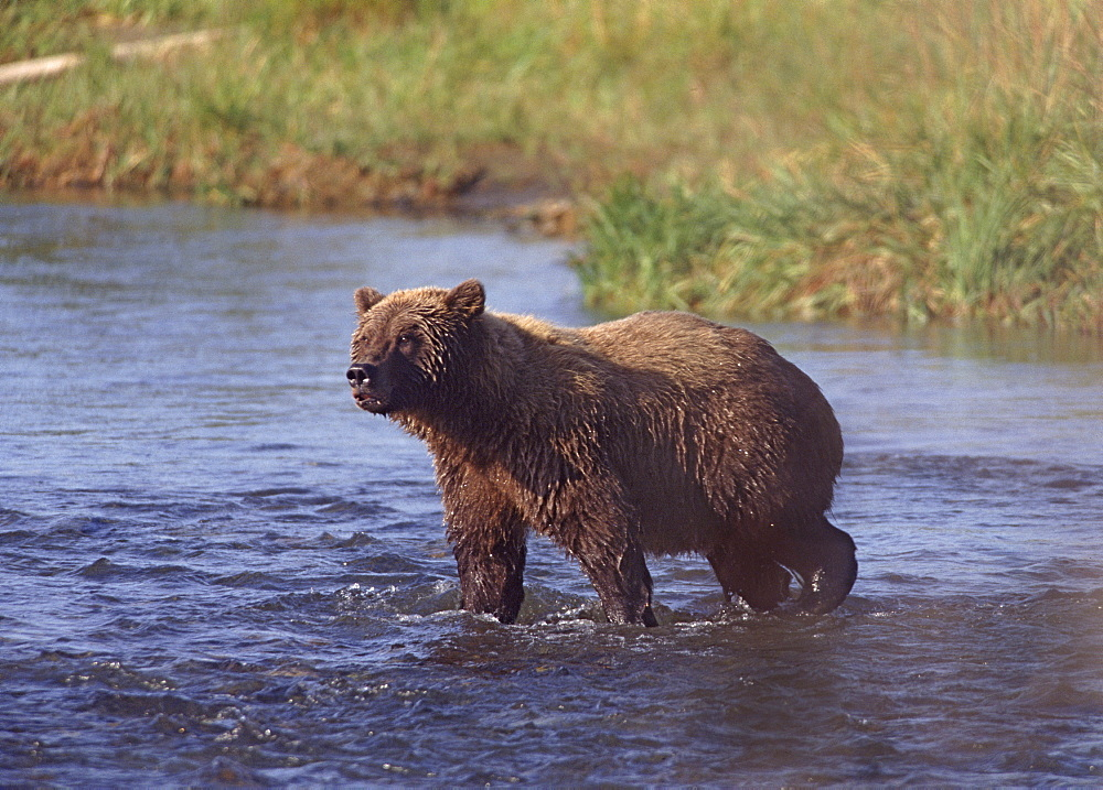 Grizzly bear, Katmai, Alaska, United States of America, North America - 745-95