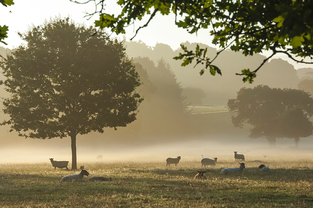 Morning mist, sheep feeding, Eden Valley, Cumbria, England, United Kingdom, Europe