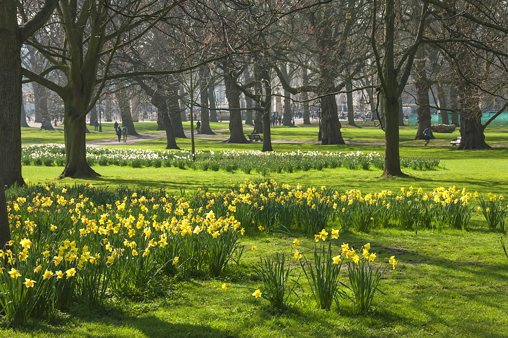 Daffodils, St James Park, London, England, United Kingdom, Europe