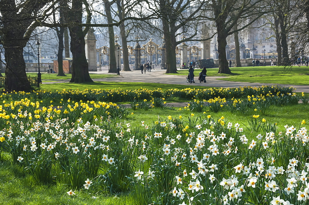 Daffodills and narcissus, Canada Gate to Buckingham Palace, Green Park, London, England, United Kingdom, Europe